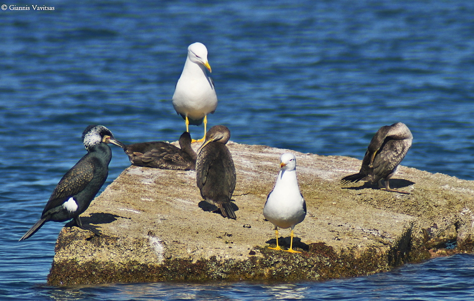 Sea birds resting in the port of Syros.