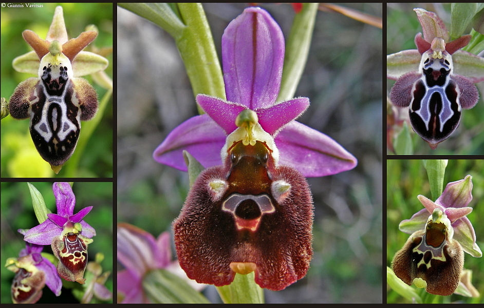 Wild orchids of Syros